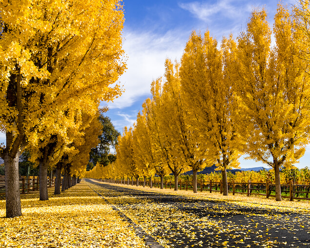 napa-valley-autumn-fall-trees-yellow-leaves.jpg